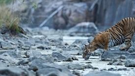 Ślady tygrysich łap na piasku z wypoczynkiem na Goa De Luxe