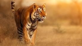 Złoty Trójkąt z tygrysem