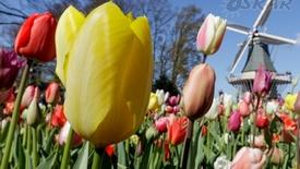 Amsterdam i festiwal tulipanów w Keukenhof