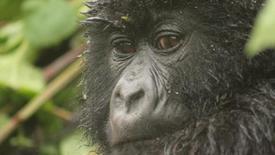 Uganda - Ruanda z wypadem do Konga