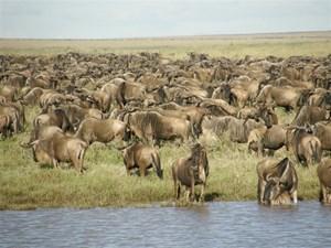 Stada-gnu-w- Serengeti.JPG
