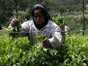 Kobieta zbierająca liście herbaty