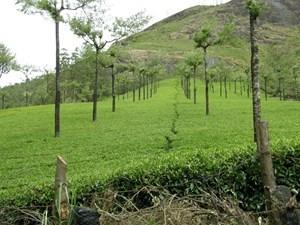 Pola herbaty Munnar Kerala