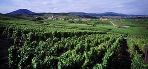 Widok na winnice. W tle miejscowość Blienschwiller na trasie Route des Vins d'Alsace. Charakterystyczne strzeliste dzwonnice kościelne zdobią wiekszość średniowiecznych osad.