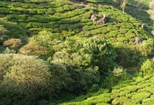 Munnnar plantacje herbaty_duze.jpg