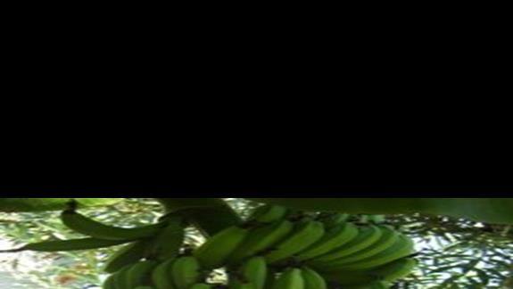 w ogrodzie granaty, banany slowem sympatycznie