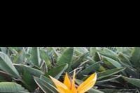 Maspalomas - Strelicja królewska - rajski kwiat