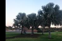 Maspalomas - Palmy, których w Maspalomas jest krocie