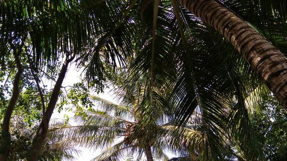 palmy kokosowe siegajace nieba