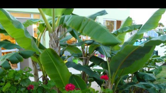 bananowce w ogrodzie hotelowym