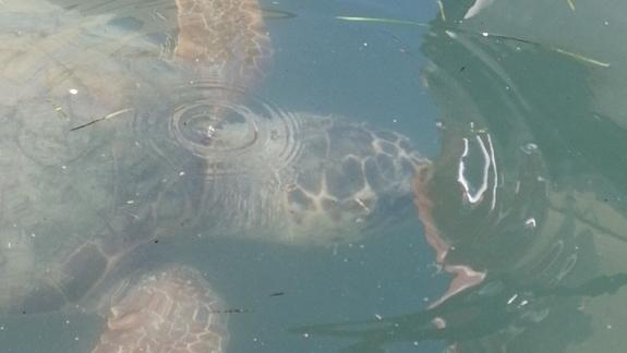 Ponadmetrowy Żółw z rodziny Caretta Caretta