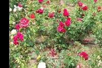 Primorsko - Kraj róż