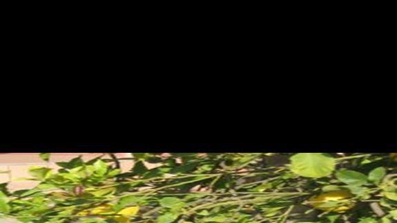 cytryny przy basenie