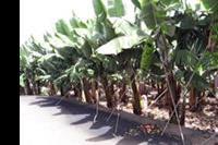 Puerto de la Cruz - Banany rosną nawet w centrum miasta