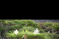 Puerto de la Cruz - U mnie krzaczek tu drzewo:)