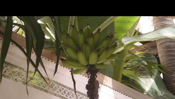 dojrzewające banany popularna uprawa na Teneryfie