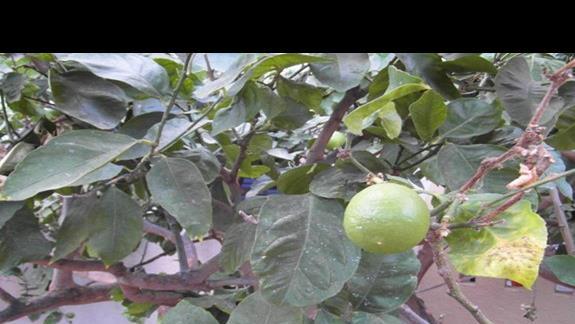 ogród-cytryna
