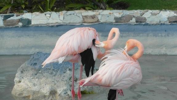 flamingi w hotelowej sadzawce