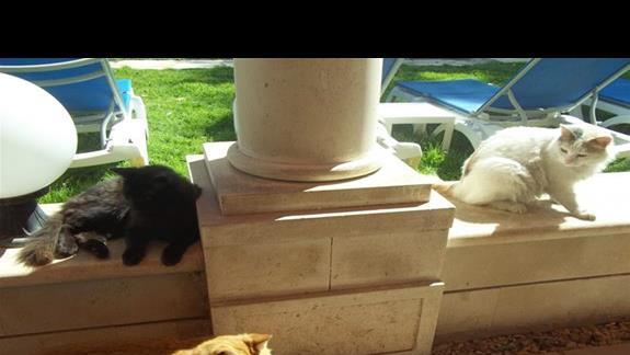 Wspaniałe cypryjskie koty. :)
