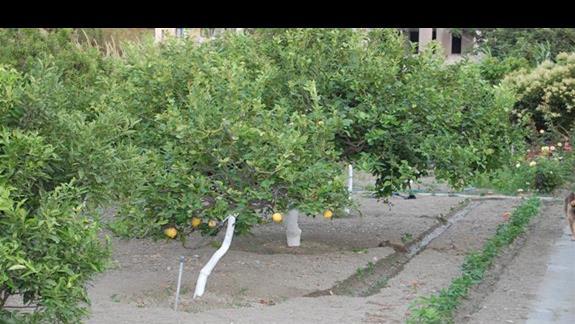 Rosnące Cytryny, kto by uwierzył ,że nie dodaja do herbaty