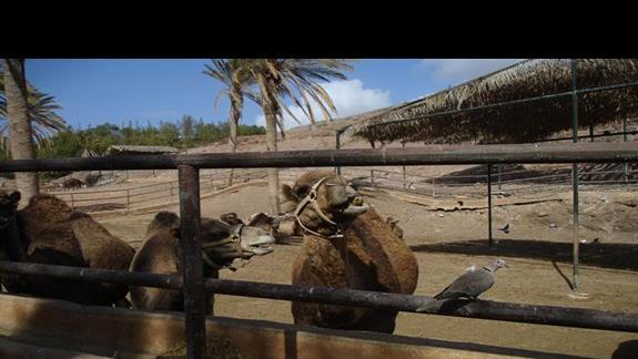 wioska wielbladow
