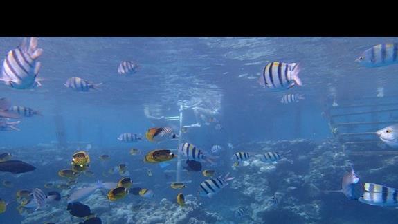 Ryby koło pomostu