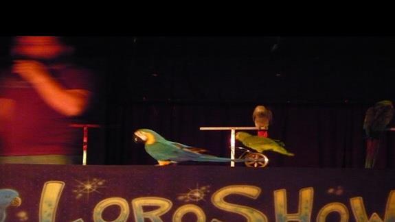 pokaz papug podczas jednego z wieczorów w hotelu