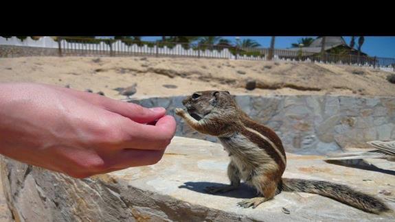 pręgowiec- wiewiórka z Fuerteventury, polecam zabrać orzeszki lub słonecznik :)