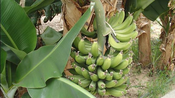 bananowce
