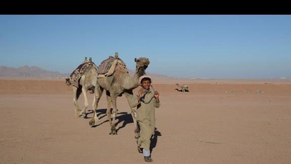 Mlody Beduin z wielbladami.