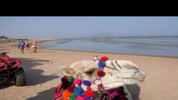 Po lewej stronie plaży znajdziecie naszego ulubionego wielbłąda, przejażdżka to wydatek 10$