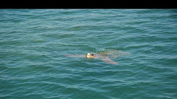 żółw w na promenadzie w Agrestoli