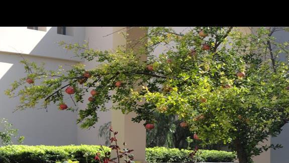 Eleon Grand - drzewo granatu przed wejściem