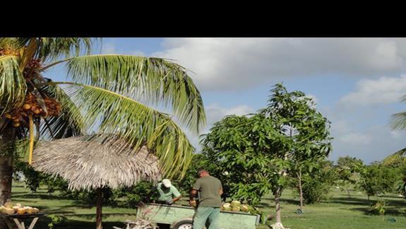 Playa Pesquero - kokosy prosto z drzewa