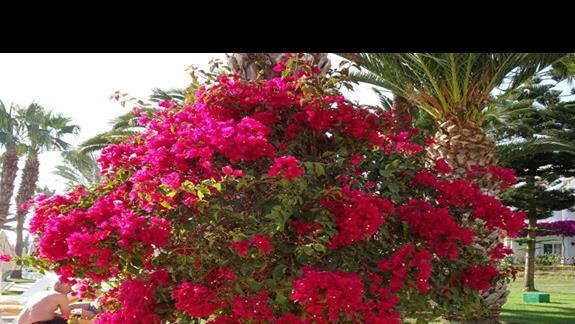 Kwiaty w ogrodzie hotelu Iberostar Founty Beach
