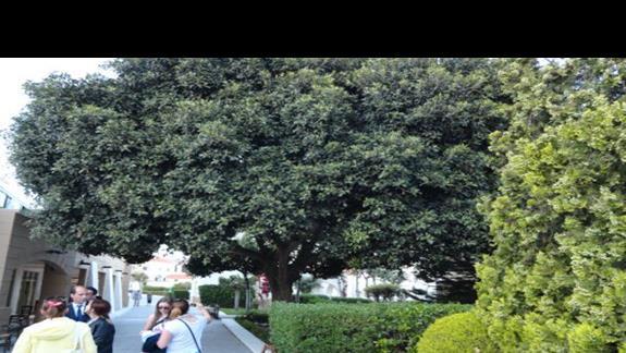 Mitsis Rodos Maris - piękne, rozłożyste drzewo