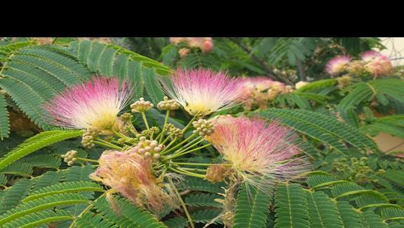 Piekna ablicja naywana inaczej mimoza