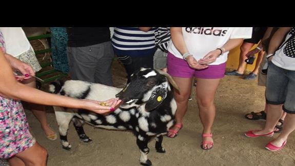 Przystanek w hodowli kóz w trakcie wycieczki objazdowej po wyspie