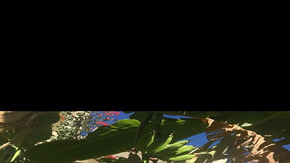 Banany na terenie hotelu