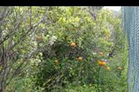 Hotel Le Dune Beach Club - Le Dune Beach Club - drzewo pomarańczowe