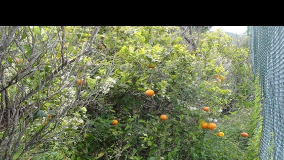Le Dune Beach Club - drzewo pomarańczowe
