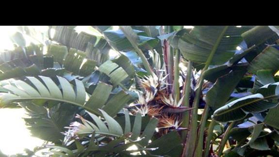 Kwitnący bananowiec na naszym patio