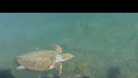 Argostoli żółwie
