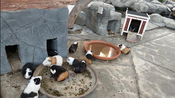Świnki morskie w mini zoo