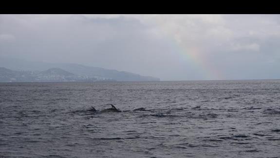 Tęcza, delfiny, madeira